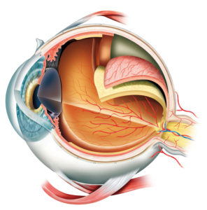 The anatomy of the eye and retina lining the inner wall