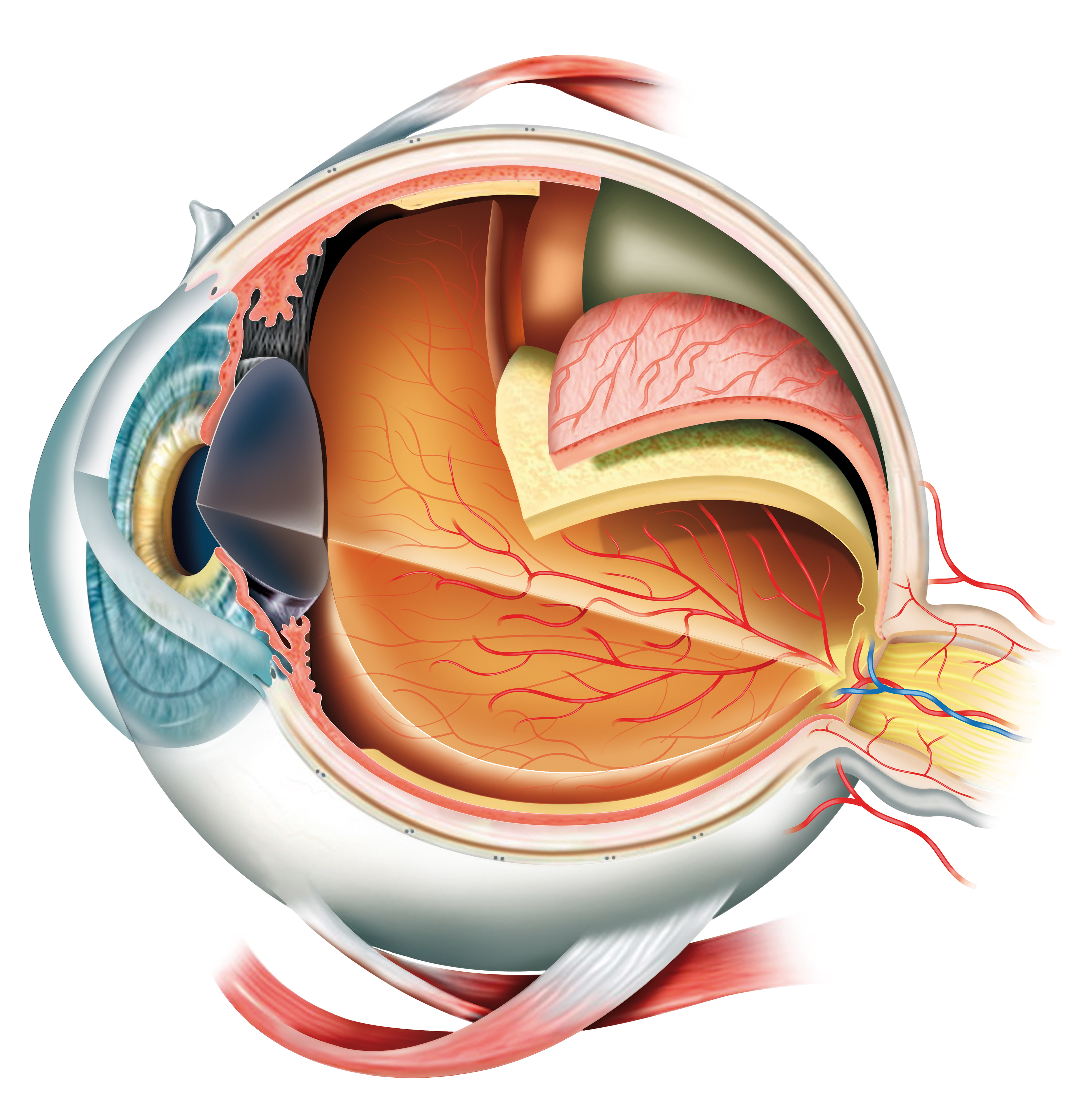 eye anatomy illustration_92433742 - Retina Group of New York