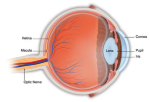 The retina is a thin membrane lining the inner wall of the eye. The central area is the macula that allows fine vision